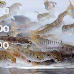 Pour des poissons d'élevage plus résistants aux pathogènes