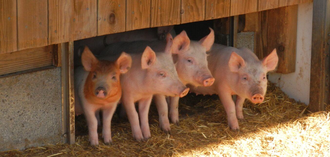 Projet PIGAL - étude de l'impact des systèmes d'élevages porcins alternatifs