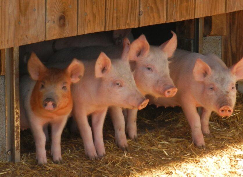 Projet PIGAL – étude de l'impact des systèmes d'élevages porcins alternatifs
