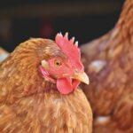 Soigner les volailles sans antibiotique